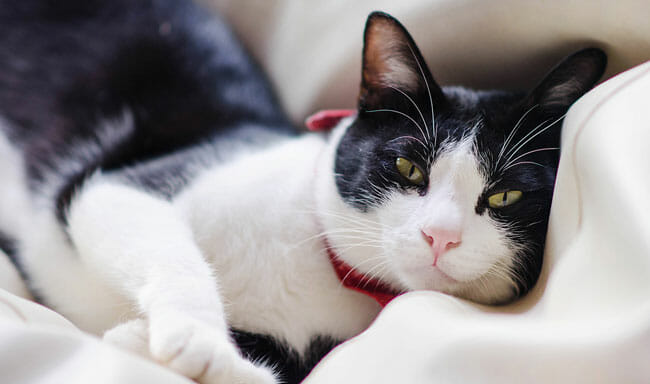 Cute tuxedo cat is smiling and lying down in comfy bed
