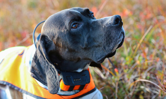 Dog english pointer portrait with GPS tracker