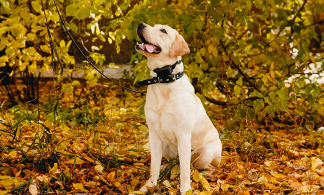 labrador dog with gps tracker