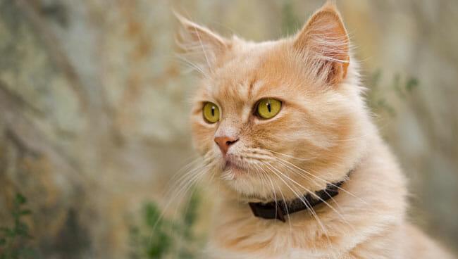 persian cat outdoor