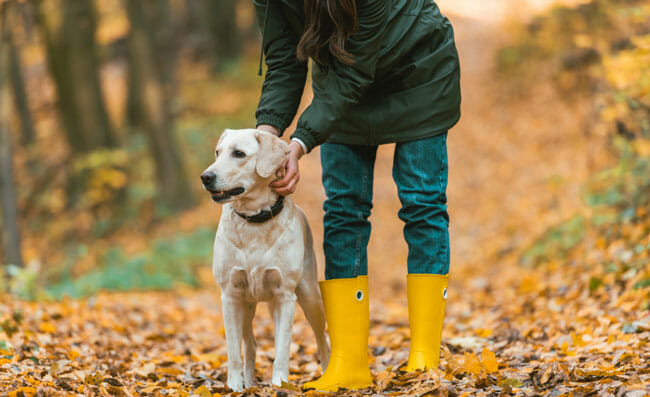 woman adjusting dog collar on golden retriever in autumnal forest